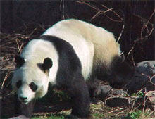 Panda du Zoo de Pékin